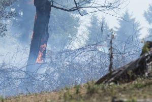 A tree erupts in flames during a brush fire on private land north of Kelso. Photo by Brooks Johnson.
